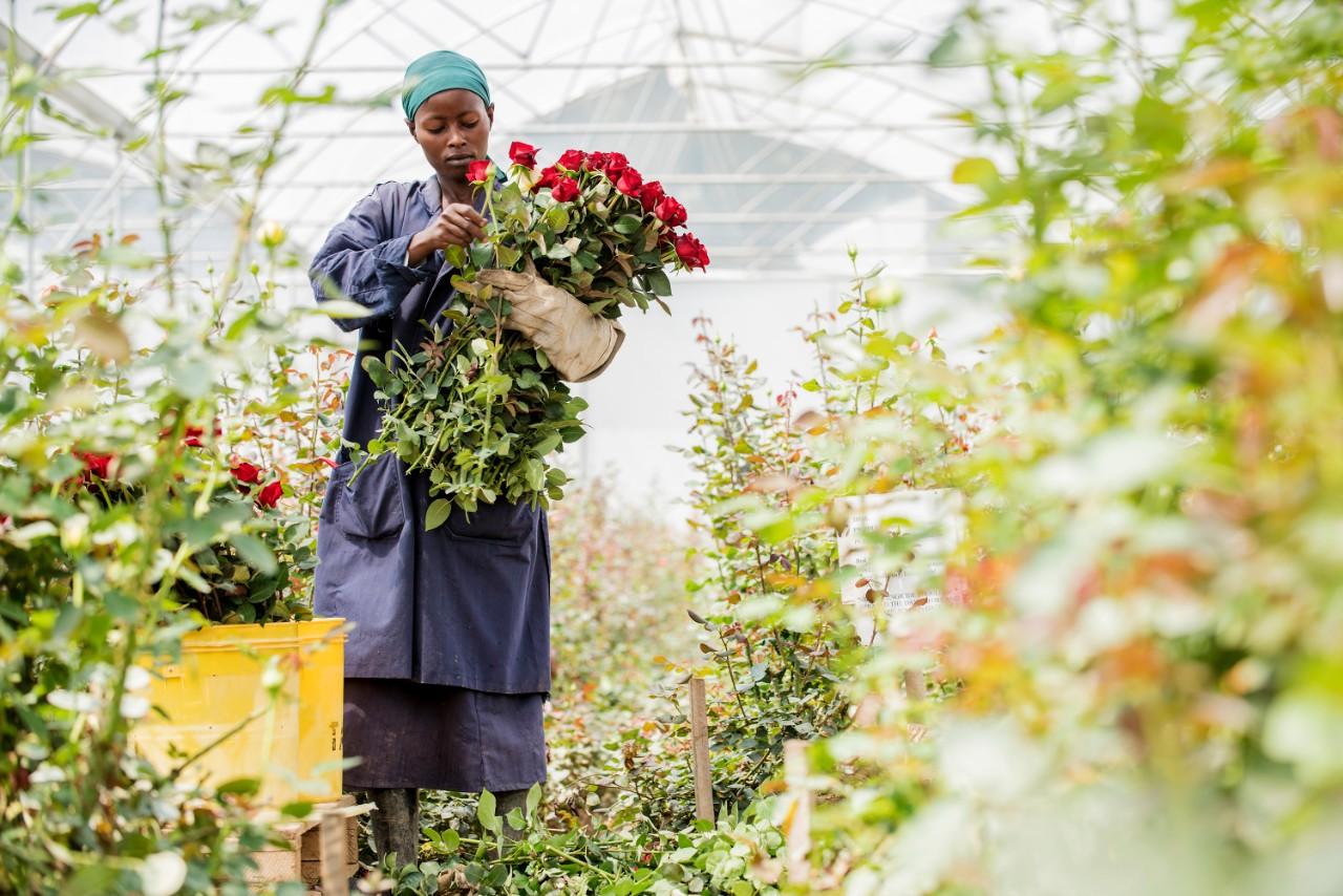 Bloemenplukker in Kenia