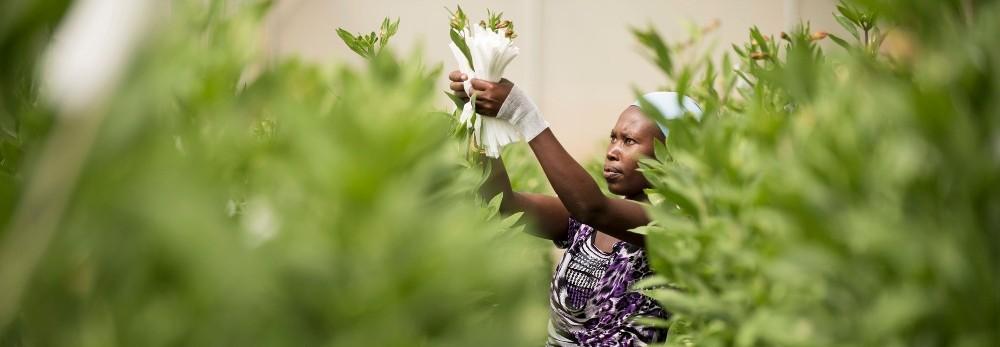 De kwetsbaarheid van bloemenplukkers in de distrubutieketen tijdens de coronacrisis